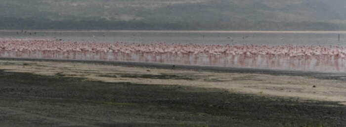 friends Joanna and Roger Brown took this picture of flamingos in Africa.